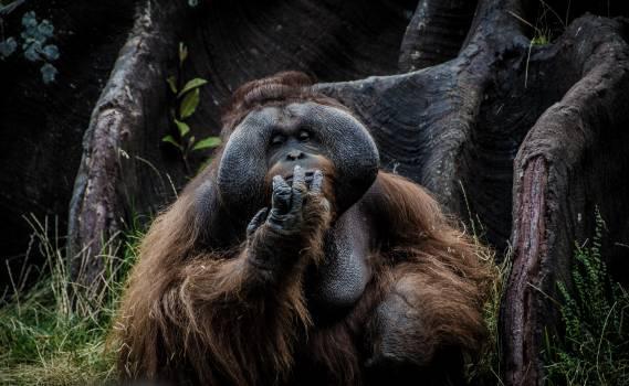 Orangutan Ape Primate #365410
