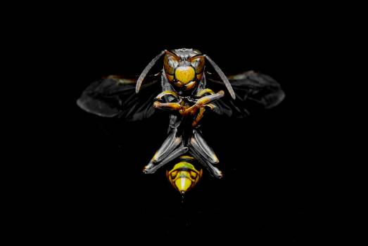 Fly Insect Wasp Free Photo