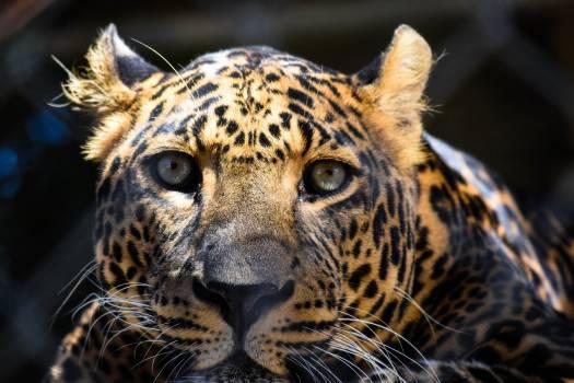 Leopard Fur Feline #366308