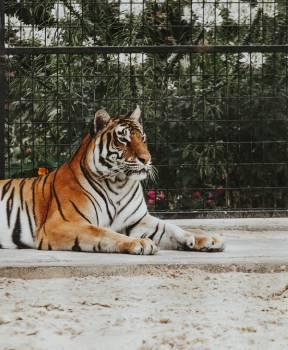 Tiger Big cat Feline #366336
