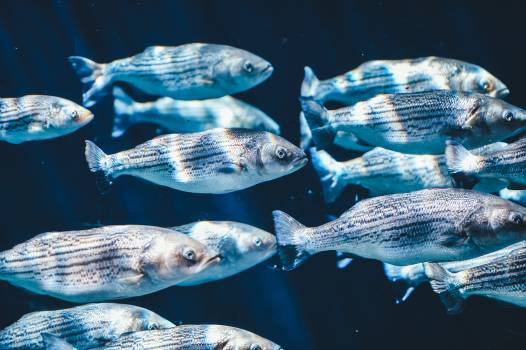 Gray Fishes Swimming Under Water #36708