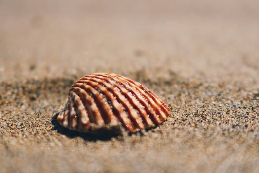 Mollusk Shell Bivalve Free Photo