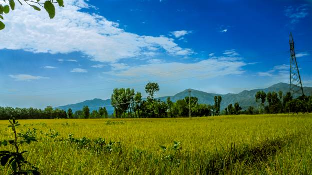 Green Rice Field Surrounded by Trees Under Clear Blue Sky #36768