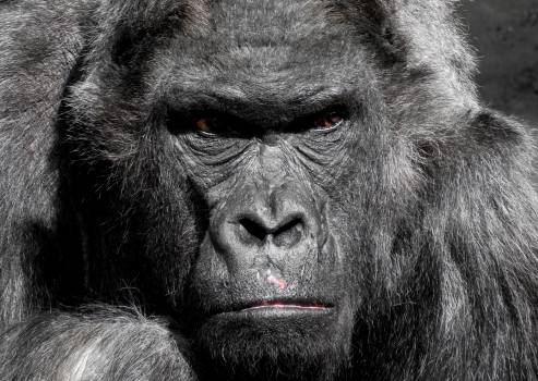 Gorilla Animal #36815