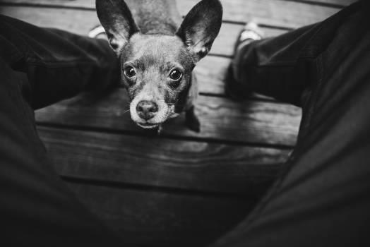 Chihuahua Toy dog Dog #368165