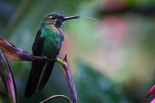 Hummingbird Bird Wildlife Free Photo
