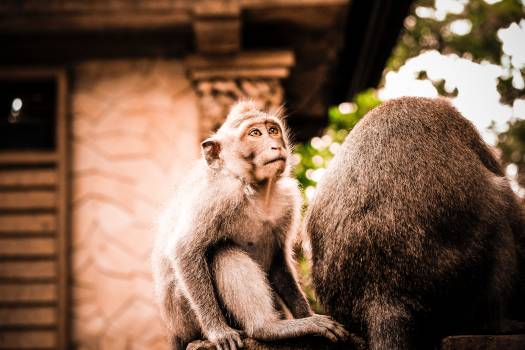 Monkey Primate Ape #368644