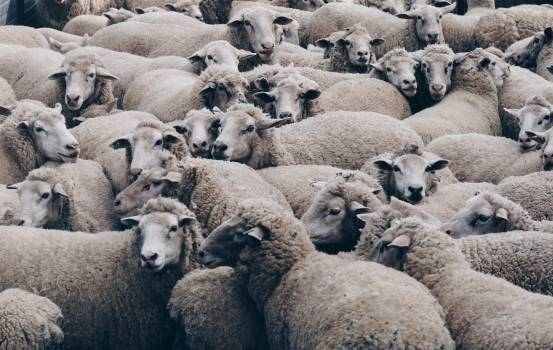 Simpleton Sheep Mammal #368882