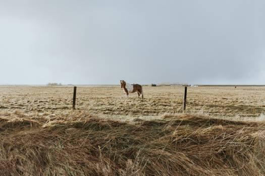 Field Camel Wheat #369013