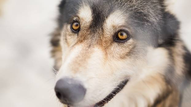 Canine Dog Wolf #369410