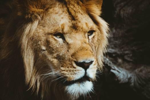 Lion Predator Big cat #369542