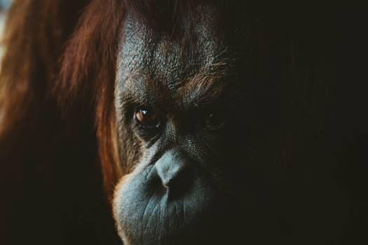 Orangutan Ape Primate #369572