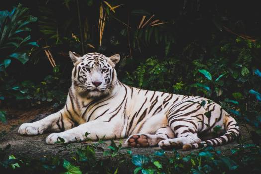 Tiger Big cat Cat #369956