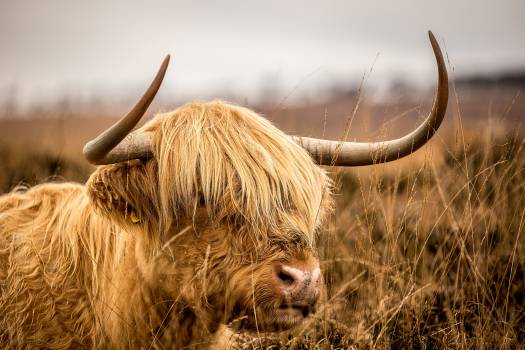 Bull Cow Cattle Free Photo