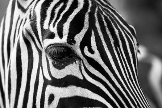 Zebra crossing animals zoo stripes #37025