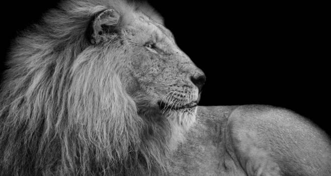 Predator Lion Feline #370368