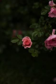 Rose Shrub Bud #370566