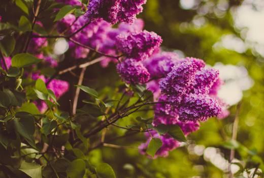 Purple Cluster Petaled Flower Focus Photography Free Photo