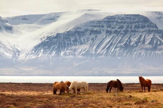 Cow Highland Grass Free Photo
