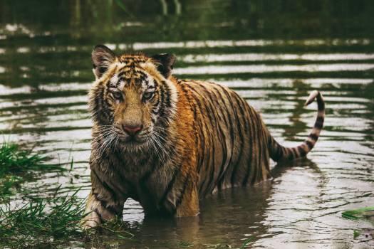 Tiger Big cat Cat #371087
