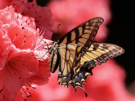 Brown Beige and Black Butterfly on Pink Petaled Flower #37112