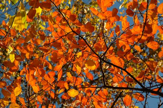 Withered Leaf Tree #37114