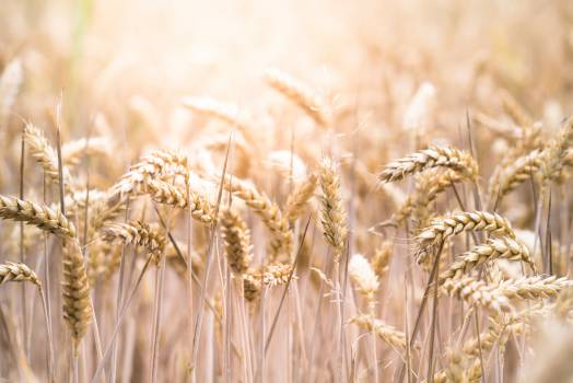 Wheat Cereal Field #371306