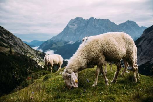 Simpleton Sheep Ram #371404
