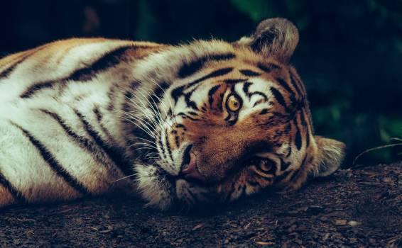 Tiger Big cat Cat #371863