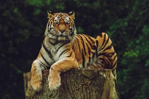 Tiger Big cat Feline #371870