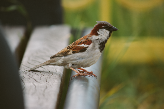 Sparrow Perched on Bench Free Photo