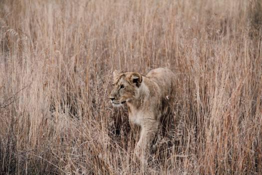 Lion Big cat Feline #372175