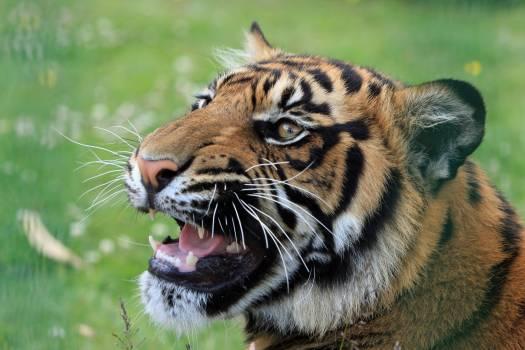 Tiger on Green Grass Field #37217