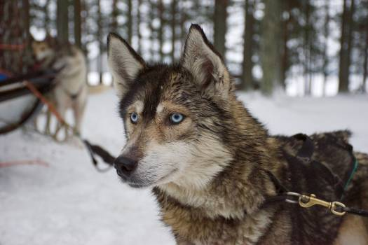 Timber wolf Wolf Canine #372399