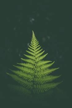 Fir Fern Plant #372435