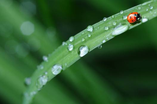 Red Ladybug in Green Grass Free Photo