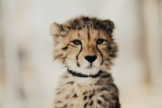 Cheetah Big cat Feline #373088