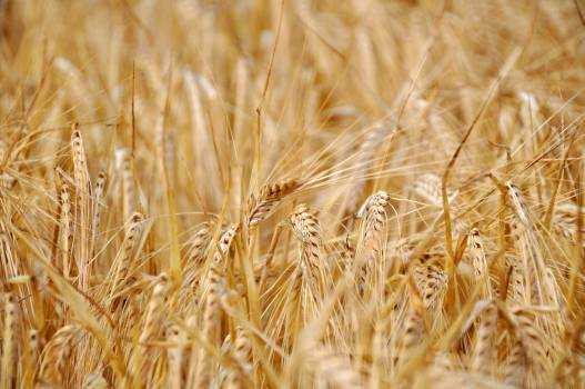 Wheat Cereal Field #373259