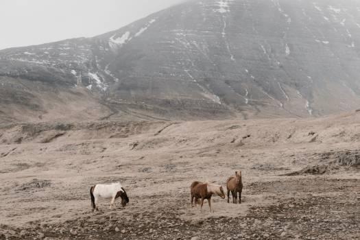 Sheep Bighorn Ram #373490