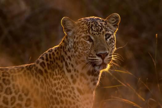 Predator Leopard Fur #373623