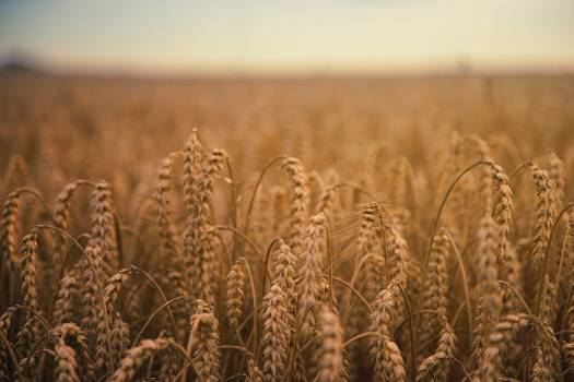 Wheat Cereal Field #373756