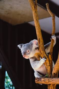Koala Mammal Wildlife #374345