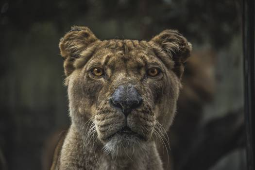 Tiger Face #37436