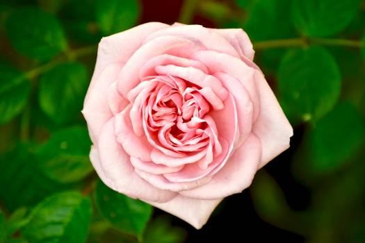 Rose Shrub Flower #374532