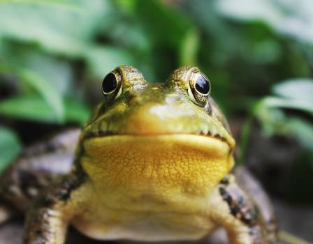 Bullfrog Frog Amphibian #374752