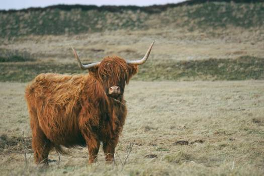 Highland Bull Mammal #375058