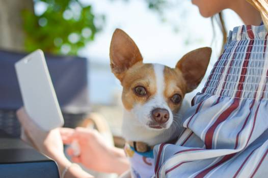 Chihuahua Toy dog Dog #375218