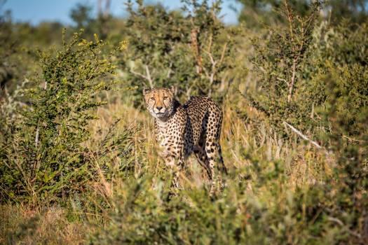 Cheetah Big cat Feline #375221