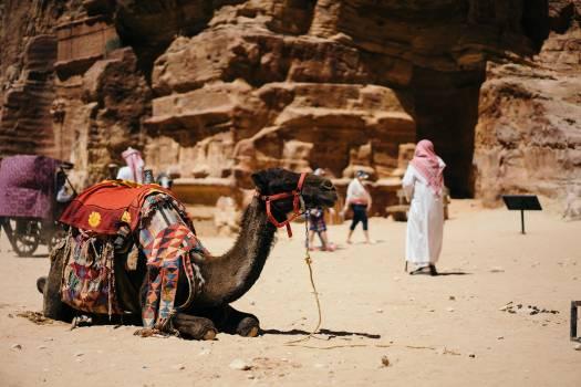 Camel Desert Ungulate Free Photo