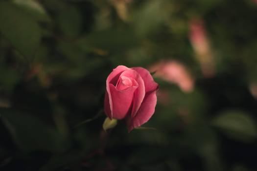 Rose Bud Shrub #375326